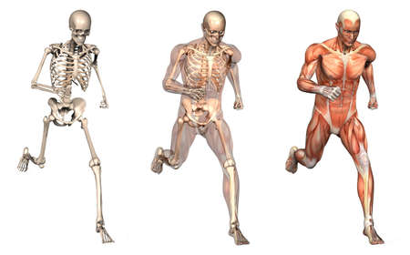 Series of three anatomical 3D renders depicting a man running, viewed from the front. These images will line up exactly, and can be used as overlays to study anatomy. Foto de archivo