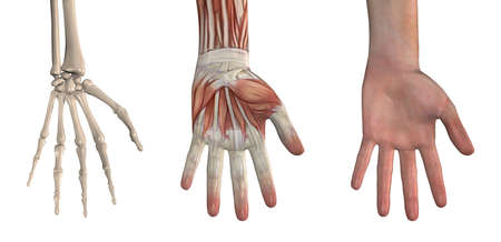Anatomical Overlays - Hand These images will line up exactly, and can be used to study anatomy. 3D render