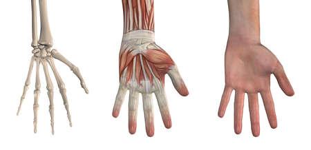 Anatomische Bekledingen - Hand Deze beelden zullen exact uitgelijnd, en kan gebruikt worden om de anatomie te bestuderen. 3D render Stockfoto