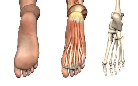 Superposiciones anatómicas - parte inferior del pie - Estas imágenes se alinearán exactamente, y puede ser utilizado para estudiar anatomía. 3D Render Foto de archivo