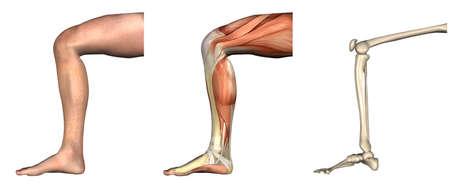 해부학 오버레이 - 구부러진 무릎 - 이러한 오버레이는 정확 하 게 줄 것이다 및 해부학을 공부하는 데 사용 될 수 있습니다. 3D 렌더링 스톡 콘텐츠