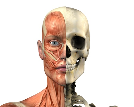 3D render depicting the muscles of the head on the left, and the skull on the right - for direct side-by-side comparison.