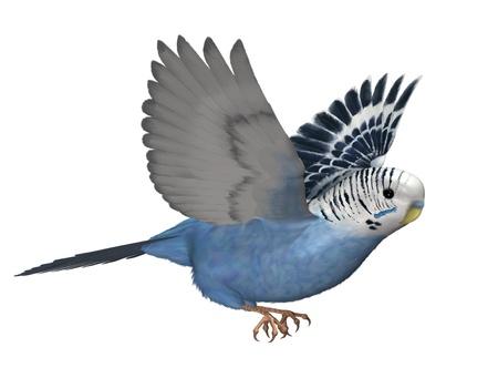 Budgie Flying - 3D render.
