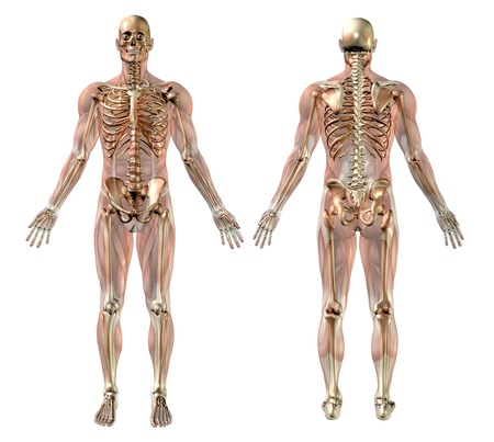 Male skeleton with Semi-transparent Muscles - medically accurate 3D render. Stock fotó - 11711123