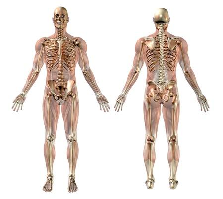 Man skelet met semi-transparante Spieren - medisch nauwkeurige 3D-render. Stockfoto