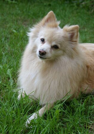 Portrait of a Pomeranian dog, resting on the grass. Banco de Imagens