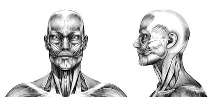 전면과 측면 - - 머리의 근육 3D 렌더링입니다. 스페셜 쉐이더 연필 드로잉의 모양을 만들기 위해, 렌더링 과정에서 사용 하였다. 스톡 콘텐츠