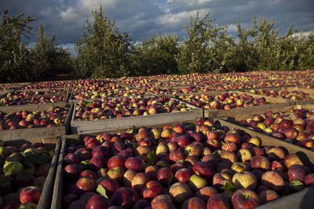 A bountiful harvest of apples  near the village of Lyndonville, in Upstate New York.