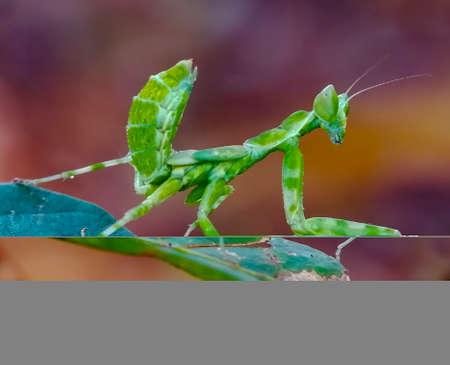 praying mantis on the leaf Archivio Fotografico
