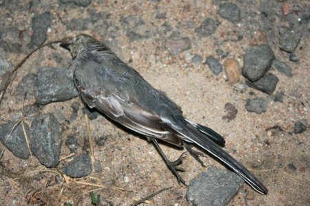 dead bird lying on the asphalt gray
