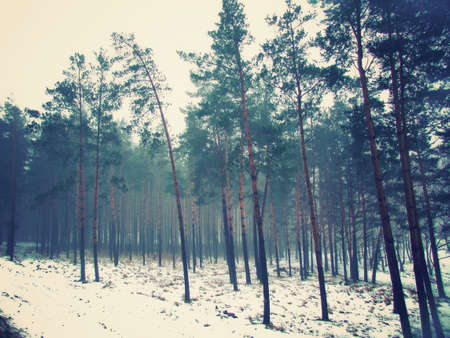 forest of pine trees in the fog in the winter photo
