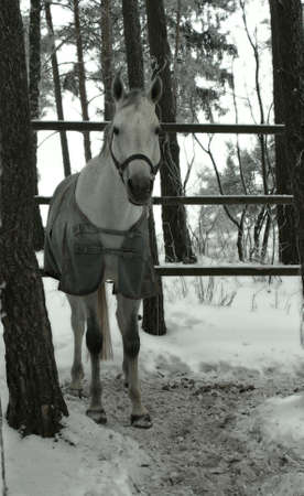 horse among the trees in the winter forest horsecloth