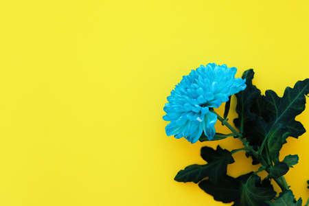 Light blue chrysanthemum flower on yellow background