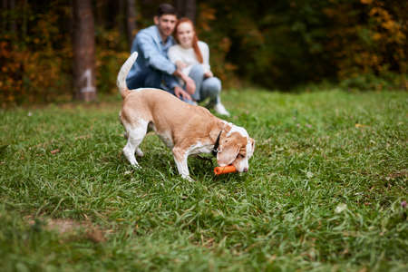 beagel having fun with toy in the park, blurrred background, family training pet outdoors