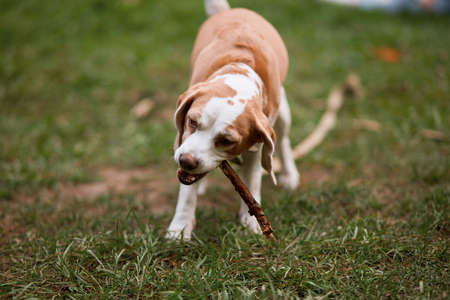 cute clever dog holding the stick in mouth. close up photo.