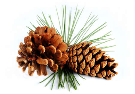 Pine branch with cones on a white background Stock Photo