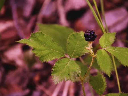 blackberry bush: Blackbarry in the nature