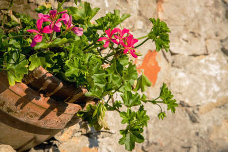 Retro image of a ceramic vase with geraniums in a stone wall Stock Photo