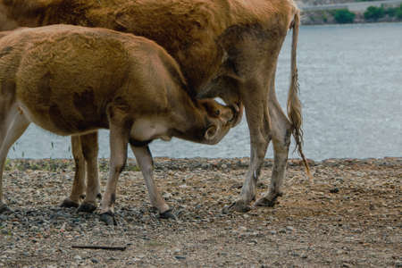 Small calf drinks milk from the cow