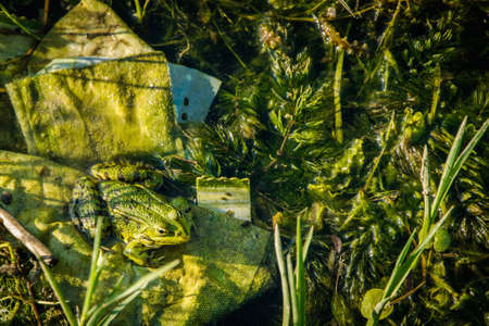 Camouflage frog in the pond