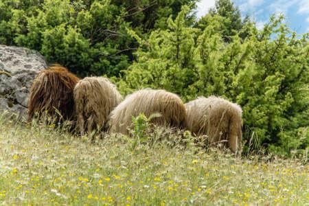 ovejitas: Sheep eating the bush