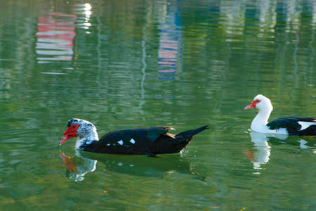Magnificent muscovy duck in the tranquil water