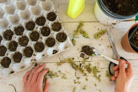 The top view of a woman's hands planting sage seeds in egg carton to make them sprout. Concepts - gardening, DIY, small business, hobbies Stock Photo