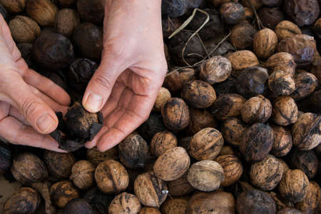 Top view of woman hands eliminate the walnut husk