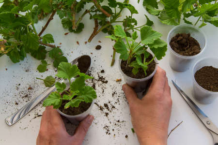Top view of woman hand rooting the geranium cuttings in the plastic cups, DIY gardening, crafts ideas