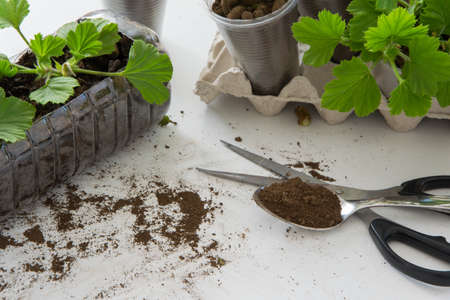 Rooting cuttings from Geranium plants in the plastic cups/bottle.  DIY gardening, crafts ideas