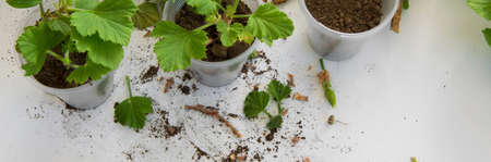 Rooting cuttings from Geranium plants in the plastic cups. DIY gardening, crafts ideas