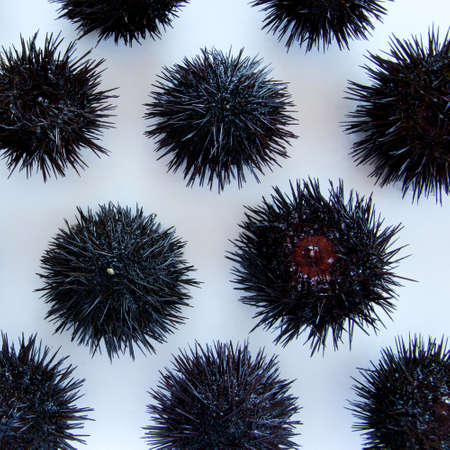 Cooking sea urchins. Seafood ingredients, food background Stock Photo