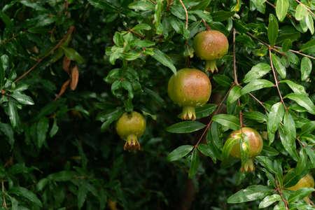 Pomegranate tree with ripe fruits. Raw organic antioxidant food Stok Fotoğraf - 130611912