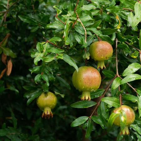 Pomegranate tree with ripe fruits. Raw organic antioxidant food Stok Fotoğraf - 130611972