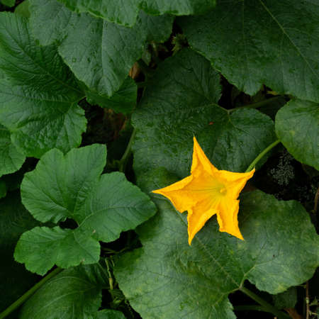 Blossom zucchini flower in middle of deep green leaves Stock fotó