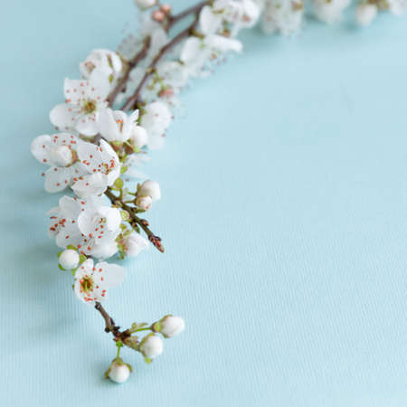 Blossom plum branch on a blue background