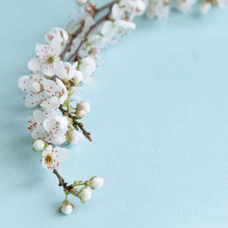 Branche de prunier en fleurs sur fond bleu