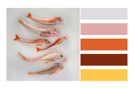 Brightly colored sea fish - Red Gurnard, on white background  in a colour palette, with complimentary colour swatches