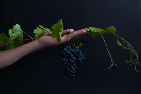 Woman hand holding bunch of grape on black background. Food fine art concept Banco de Imagens