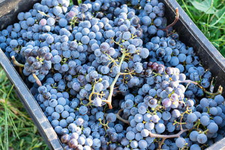 Harvesting black grapes, concept of harvest, viticulture, healthy organic ingredients.