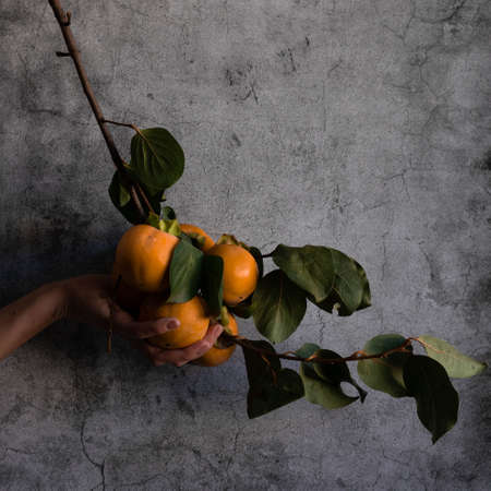 Close up view of woman hand holding a branch with raw persimmons