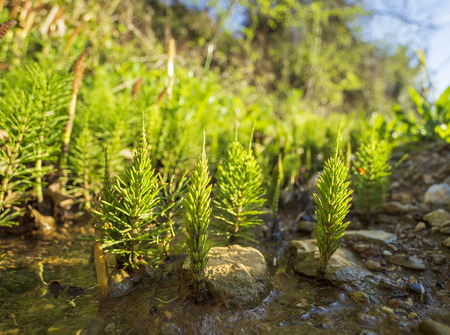 Blooming green horsetail Equisetum in the spring in Greece Stock Photo