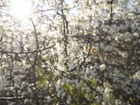 Flowering thorn bush (blackthorn, prunus spinosa)
