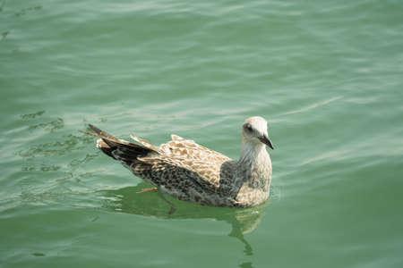 A light brown dove in water Banco de Imagens