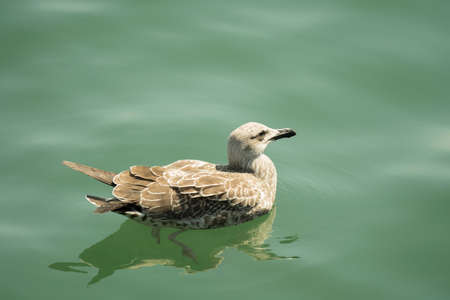 A white and brown dove in water Banco de Imagens