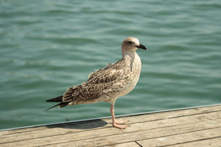 A white and brown dove on the boardwalk
