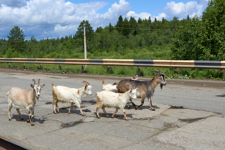bumpy road: five large and small goats on a bumpy road