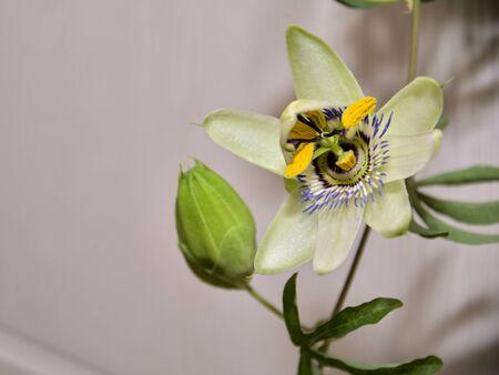Evadez-vous avec une fleur et un bourgeon de passiflore, une plante aux feuilles sculptées sur fond clair.