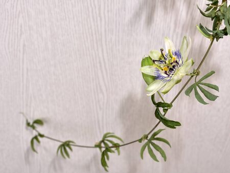 Escape with a flower and a bud of passionflower, a plant with carved leaves on a light background.
