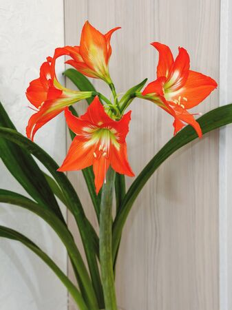 Hippeastrum is an amazing bulbous plant, bright, red and orange with a white-green core, blossomed in four large flowers on a thick green stem with dense narrow leaves.